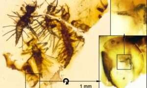 Te larwy w bursztynie zostały uwięzione około 130 mln lat temu