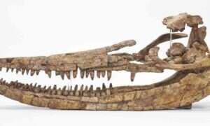Czaszka ichtiozaura zaskoczyła naukowców nie tylko swoimi rozmiarami