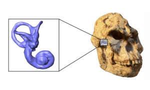 Wymarły ludzki krewny prawdopodobnie poruszał się jak szympans