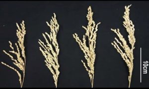 Modyfikowany ryż prezentuje znaczący wzrost plonów