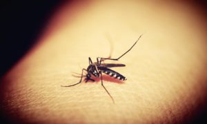 Naukowcy testują sposób na eksterminację komarów