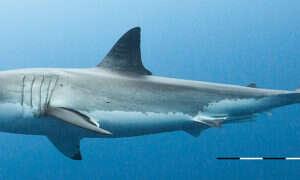 Żarłacze białe prawdopodobnie doprowadziły do wyginięcia megalodonów