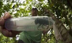 Na terenie Indonezji odnaleziono ogromne pszczoły uważane za wymarłe