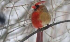 Ten ptak jest w połowie samcem i w połowie samicą