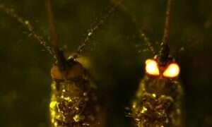Czerwonookie komary pomogą w walce z wirusem Zika