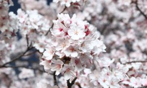 Kwitnące wiśnie – poważny japoński biznes