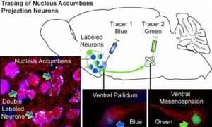 Badania mózgu ujawniają w jaki sposób następuje powrót do kokainy