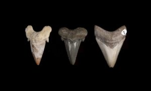 Megalodon przez miliony lat wykształcał swoje śmiercionośne kły