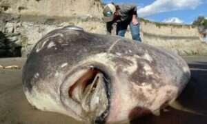 Ta przypominająca kosmitę ryba została wyrzucona na brzeg plaży w Kalifornii
