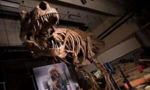 Szkielet T-rexa jest największym jaki kiedykolwiek udokumentowano