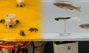 Pszczoły i ryby uczą się komunikacji na odległość przy pomocy robotów