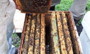Pszczoły są sposobem na zmierzenie poziomu zanieczyszczenia
