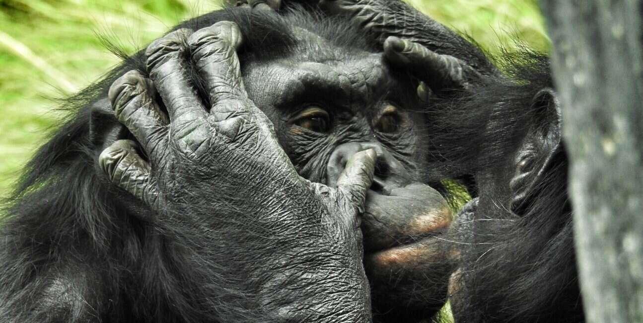 Bonobo, krzyżowanie bonobo, krzyżowanie małp, historia bonobo, historia małp