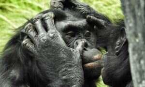Bonobo setki tysięcy lat temu uprawiały seks z tajemniczą małpą-duchem