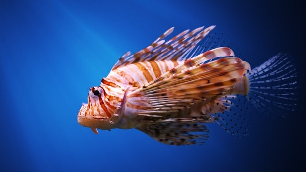 Pterois, inwazja Pterois, genetyka Pterois, drapieżne ryby ameryka, ameryka Pterois