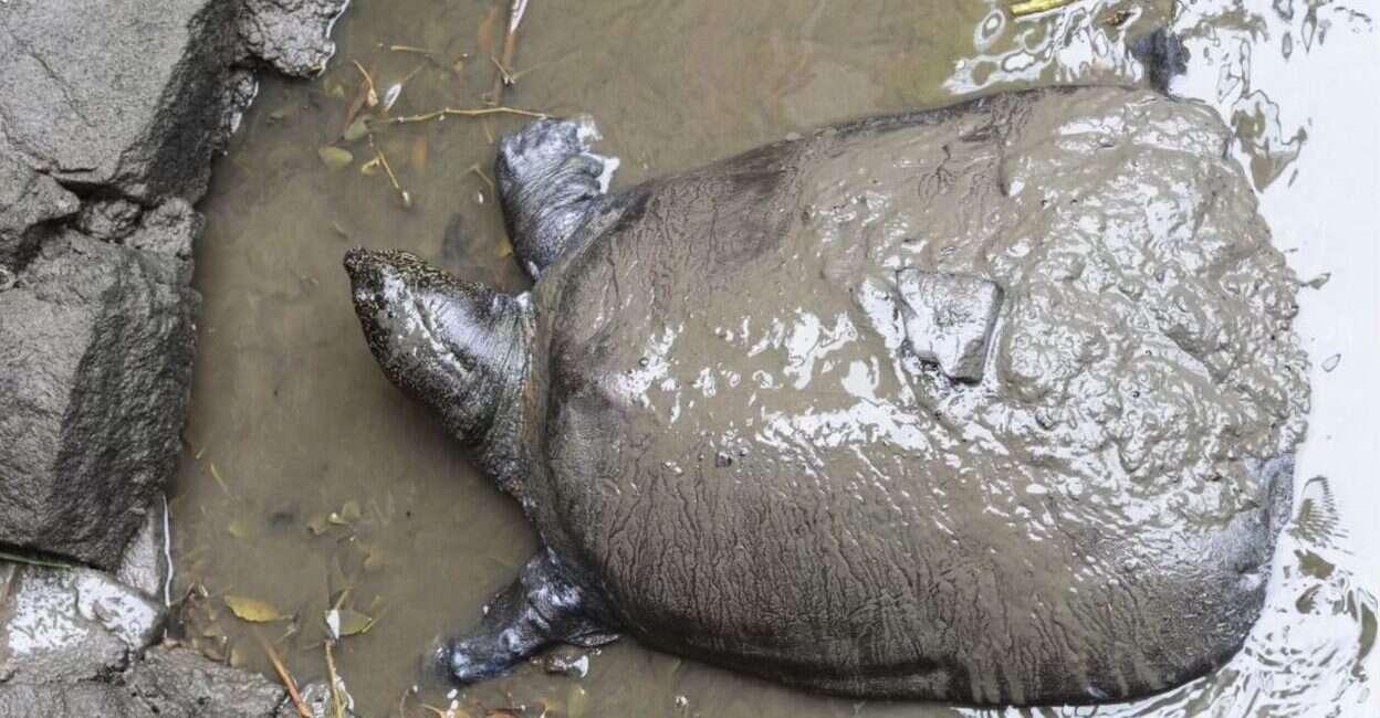 Żółwiak szanghajski, zagrożenie Żółwiak szanghajski, śmierć Żółwiak szanghajski, rzadki żółw, gatunek żółwia