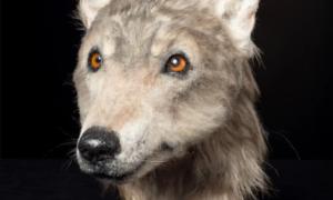 Jak wyglądały szkockie psy sprzed 4500 lat?