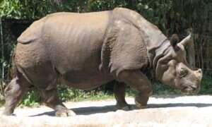 Kłusownik został zabity przez słonia i zjedzony przez lwy