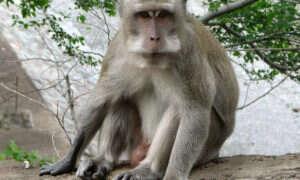 Naukowcy zaaplikowali małpom geny z ludzkiego mózgu