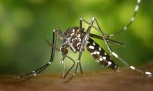 Wydzieliny komarów pozwolą na wykrywanie wirusów przez nie roznoszonych