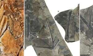 Zobaczcie dinozaura-ptaka ze skrzydłami nietoperza