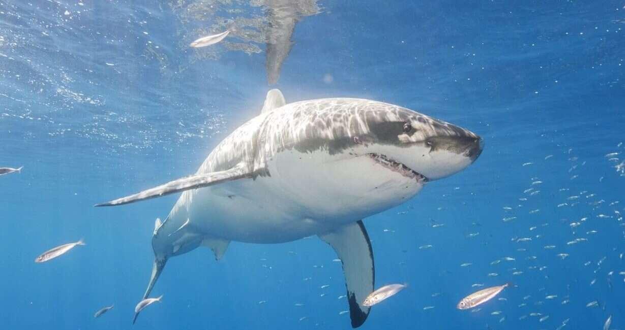 żarłacz biały, USA żarłacz biały, USA rekin, brzeg rekin, żarłacz biały brzeg, żarłacz biały brzeg USA