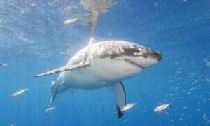 Olbrzymi żarłacz biały zbliża się do wybrzeży USA