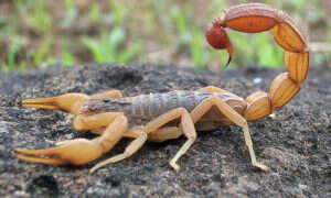 Jad skorpiona pomaga wykryć raka mózgu