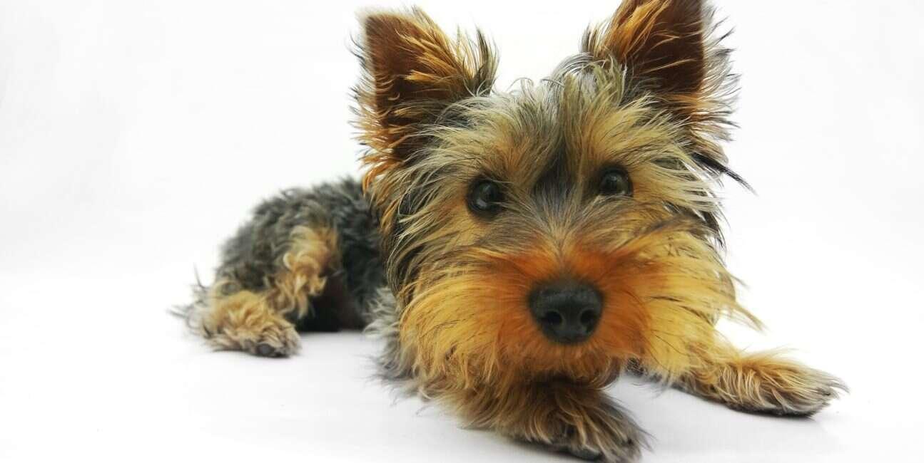 pies, posiadanie psa, pies a genetyka, posiadanie psa genetyka, genetyka pies