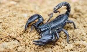 Jad skorpiona pomoże w walce z gronkowcem i gruźlicą