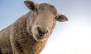Naukowcy hodują kości na żebrach owiec – przydają się przy operacjach szczęki