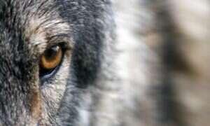 Odkryto świetnie zachowaną głowę wilka sprzed 40 tysięcy lat