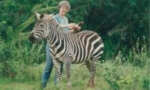 Paski u zebr pomagają w kontrolowaniu temperatury