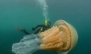 Ogromne meduzy pływają z nurkami koło wybrzeży Anglii
