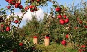 Ekologiczne jabłka mają więcej zdrowych bakterii