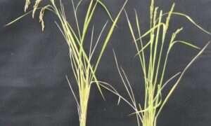 Naukowcy edytują długo niedostępną część DNA roślin