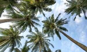 Tysiące palm umiera z powodu nowej choroby