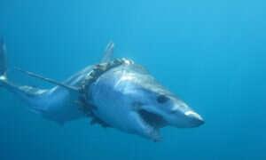 Setki rekinów i płaszczek zaplątują się w plastiki występujące w oceanach
