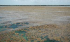Ogromny zakwit glonów ogranicza życie od Karaibów po Afrykę
