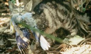 Australijskie koty zabijają ponad 2 miliardy dzikich zwierząt każdego roku