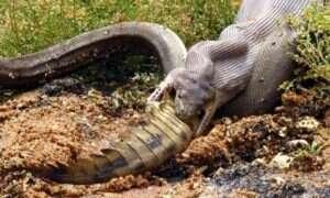 Fotograf uwiecznił pytona, który połknął w całości krokodyla