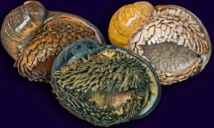 Ten ślimak posiada skorupę z metalu