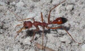 Wciąż nie wiadomo, w jaki sposób ten pasożyt kontroluje mrówki-zombie