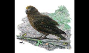 Pozostałości gigantycznej papugi odkryte w Nowej Zelandii
