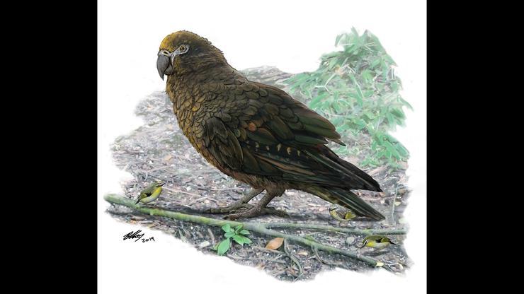 Heracles inexpectatus, papuga, gigantyczna papuga, ogromna papuga, największa papuga