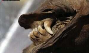 Udało się odczytać RNA wilka sprzed 14 tysięcy lat