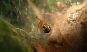 Huragany powodują ewolucję bardziej agresywnych pająków