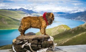 W jaki sposób mastify tybetańskie przystosowały się do życia w górach?