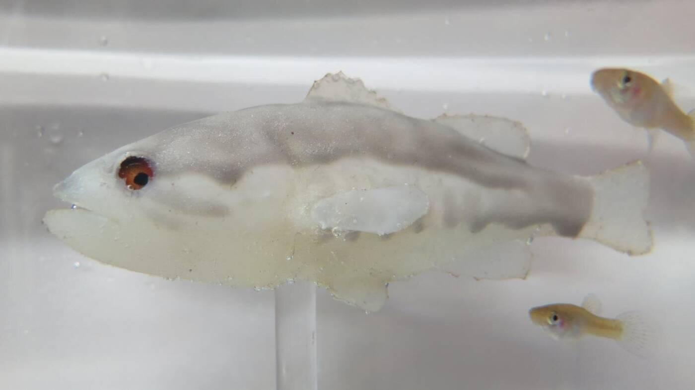 Robotyczne ryby mogą zawalczyć z inwazyjnymi gatunkami