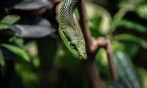 Jak duże zwierzę jest w stanie połknąć wąż?